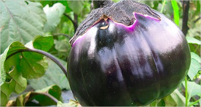 "Research: Italian-led team unveils the ""secrets"" of the  eggplant and its biodiversity"