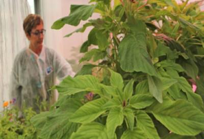Piante di Amarantus ad altro contenuto proteico, ricche di elementi nutritivi anti-infiammatori, anti-anemici