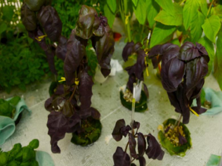 Basilico viola ricco di antocianine, sostanze antiossidanti utili contro l'invecchiamento