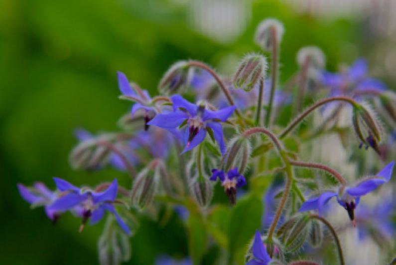 """Fiori di Borragine, una pianta aromatica di eccellenza nota come pianta """"depurativa"""""""