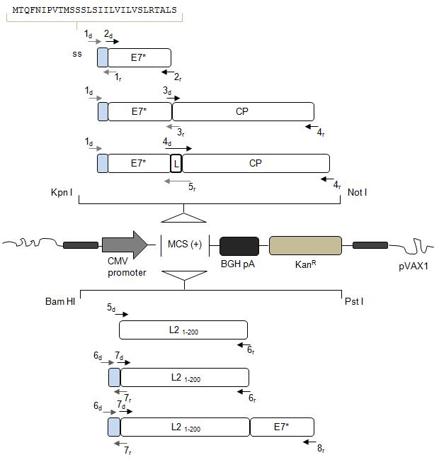 Diagrammi dei vaccini (costrutti genici) sperimentati