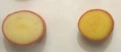 ENEA Golden Potato