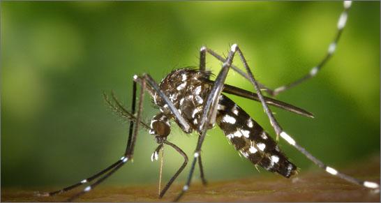 Studio ENEA su zanzara tigre