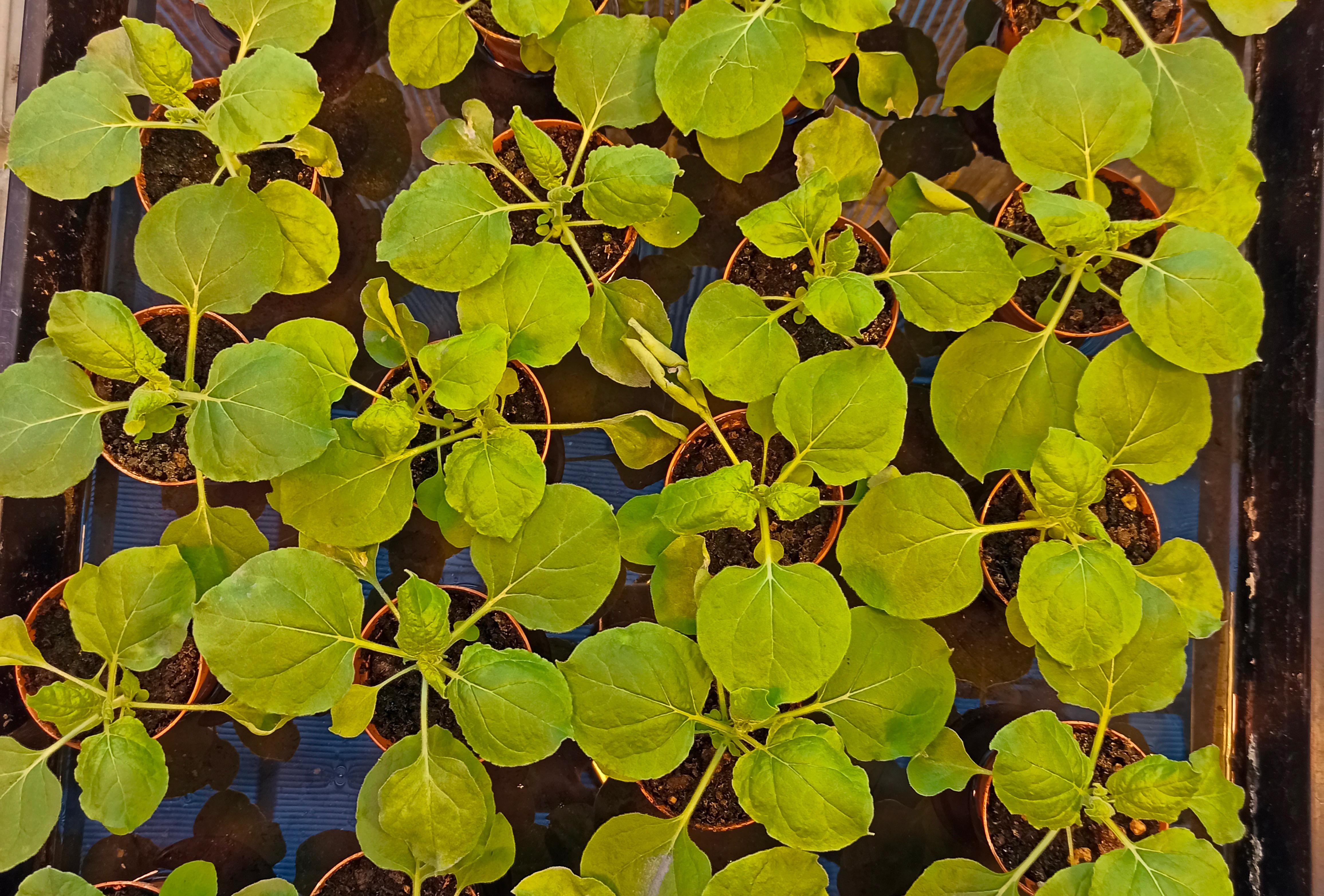 Nicotiana benthamiana05.jpg