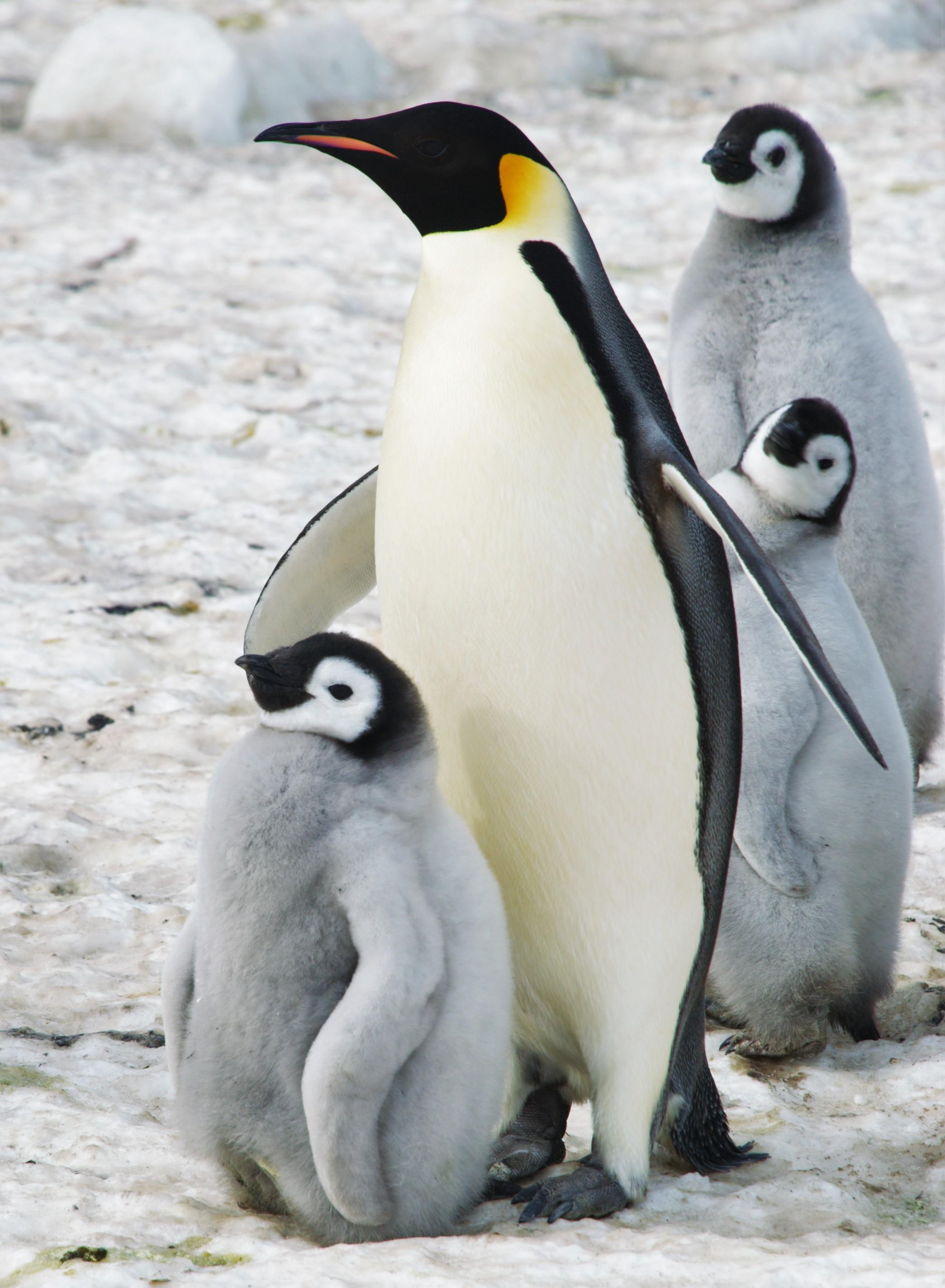 Antartide - Pinguini con cuccioli