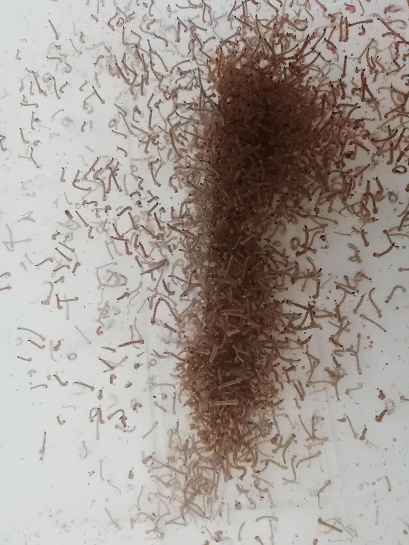 Larve zanzara