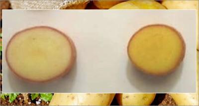 Alimentazione: ricerca internazionale sperimenta patate a più alto contenuto di vitamine