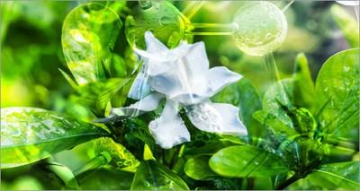 Salute: ENEA nel team internazionale che ha sequenziato il genoma della Gardenia