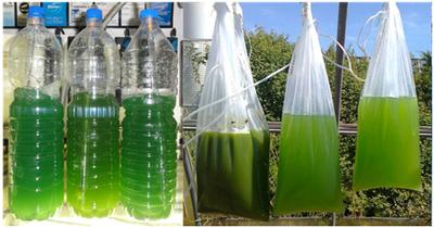 Colture microalgali in contenitori a basso costo